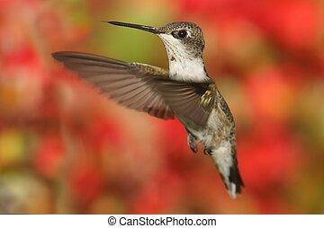 Ruby-throated Hummingbird - Juvenile Ruby-throated...