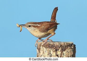 Carolina Wren On A Stump - Carolina Wren Thryothorus...