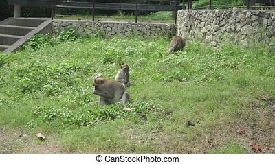 Three monkeys searching for food in the grass. Songkhla,...