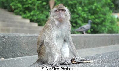 Monkey sitting on asphalt and chewing, slow motion video....