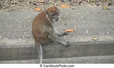 Brown monkey sitting on the pavement. Songkhla, Thailand...