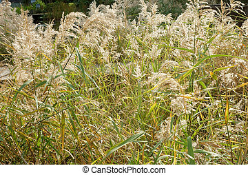 Japanese pampas grass field - Pampas grass fields, clumps of...