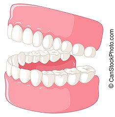 Human teeth model on white background