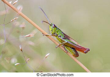 water meadow grasshopper
