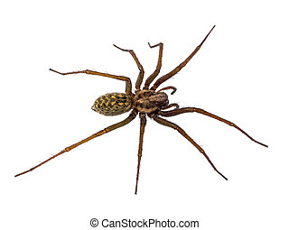Scary House spider isolated on white - Scary house spider...