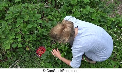 Peasant woman girl harvest ripe strawberry in farm...