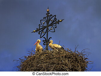 Two european white storks, ciconia, in the nest - Two...