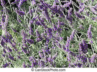 many fragrant Lavender flowers