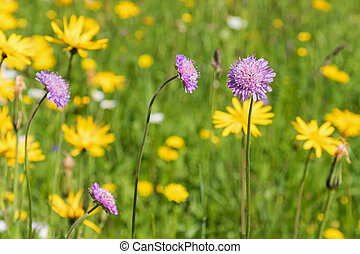 Field scabious flower blossoming in the meadow surrounded by...
