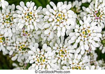 Soft focus of Evergreen Candytuft flower, Iberis, in white...