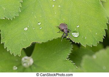 Small, brown, European, beetle, Black, Vine, Weevil, on,...