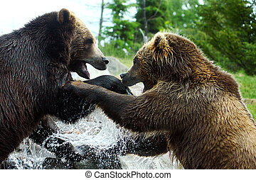 Grizzly (Brown) Bear Fight - Two Grizzly (Brown) Bears...
