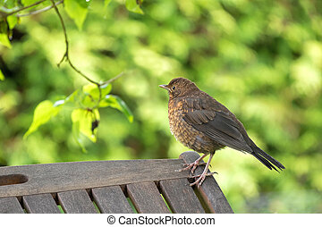 Cute little female Eurasian Blackbird, Juvenile Common...