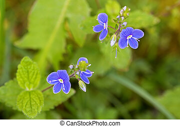 Germander Speedwell flower in blue purple blossoming in the...