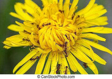 Big brown ants feeding on pollens of Common Dandelion flower...