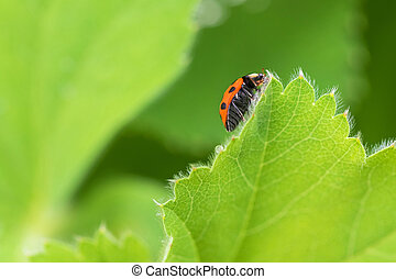 Red Ladybird, Ladybug crawling on green leaf of Currant in the garden during summer time