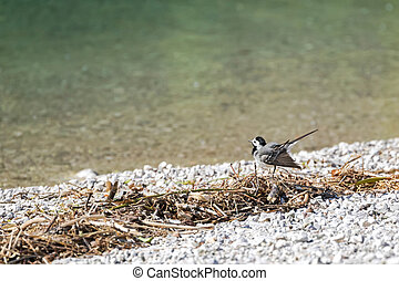 Cute little White Wagtail bird wagging its tail by the lake...