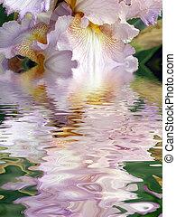 flower of an iris - Beautiful flower of an iris
