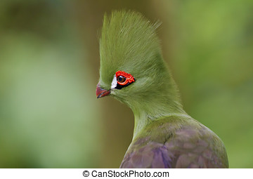 Green Touraco,Tauraco persa - portrait of Green...
