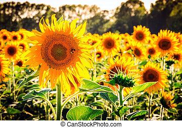 Sunflower Tuscany