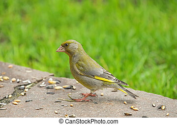 European Greenfinch bird in yellow green color eating...