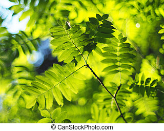 rowan leaves in the forest