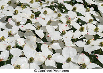 Dogwood in bloom - Dogwood in bloom in The Apenheul,...