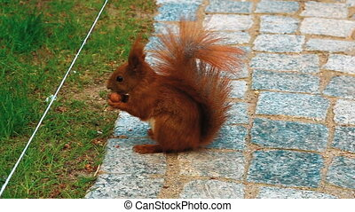 Red Squirrel Gnaws a Nut on the Ground