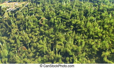 Water plants - Green growth of plants in Twin Lakes,...
