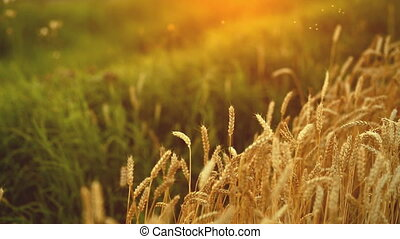 Ripe wheat with flies in summer sunset