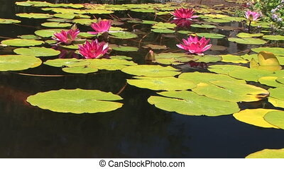 Koi and lily pads - Tranquil pond with Koi inside San Juan...