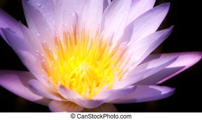 Water Lily - Large purple bloom on a pond