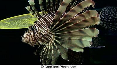 Scorpionfish - Red Lionfish Pterois volitans