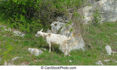 Wild Goat Eating Foliage - In the frame there is one white...