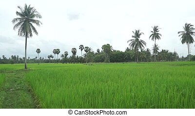 Thai rice plantation video clip