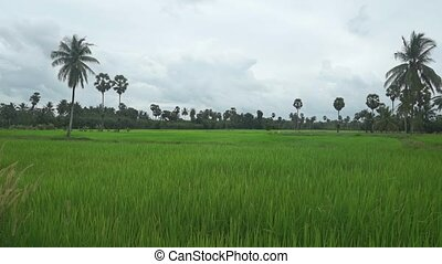 Rice plantation in Thailand clip