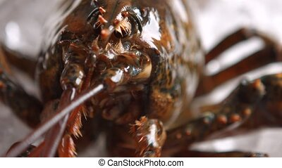 Lobster moves his mouth. Head of brown lobster. What is this...