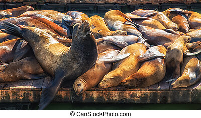 California Sea Lions (Zalophus californianus) on Pier 39,...