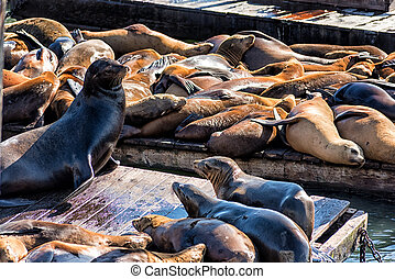 California Sea Lions Zalophus californianus on Pier 39,...