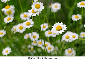 Oxeye daisy flower in yellow and white color in the meadow...