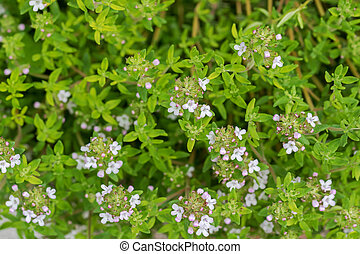 Home grown Thyme with flowers blossoming during summer in the garden, Europe