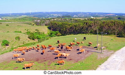 Aerial from cows in the countryside from Portugal