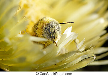 Bee covered in pollen - Funny honey bee coming out of a...