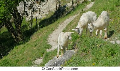 Wild Goats Grazing On Green Slope - In the frame there is a...