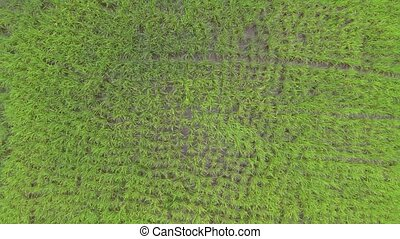Camera slowly rising 100 m above of bright green rice plantation. Aerial video