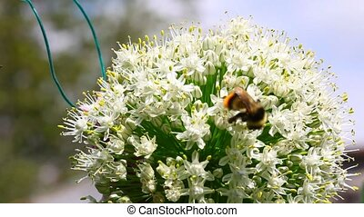 Bumblebee. - Bumblebee on flowering onion.