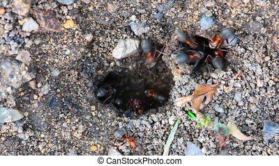 Ants nest Macro - Clear the nest ants working, close-up