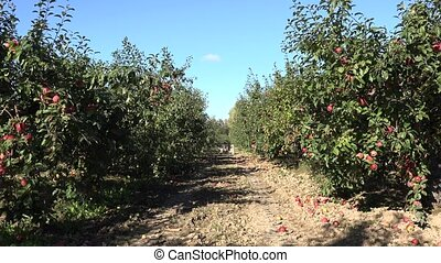 apple tree with fruit in row in plantation at harvest time...