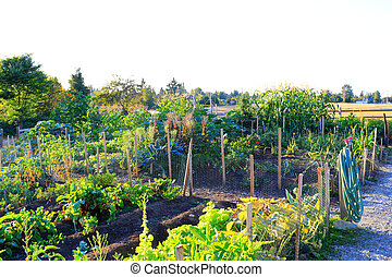 Home vegetable garden at the back yard. Sunset