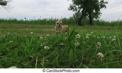 close up of chihuahua walking on the grass at park -...